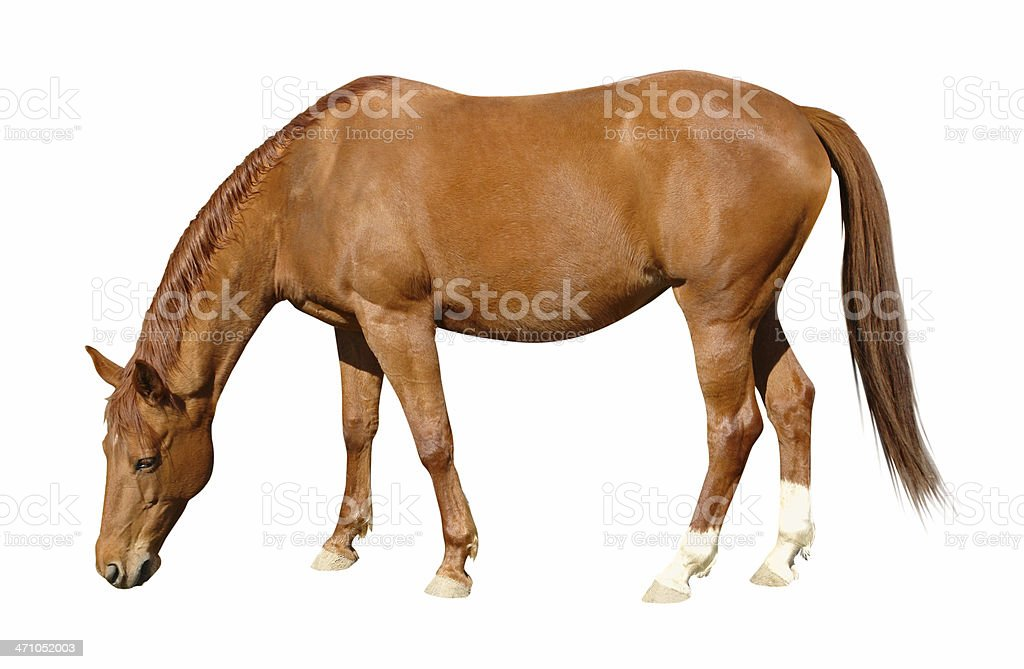 Grazing Brown Horse royalty-free stock photo