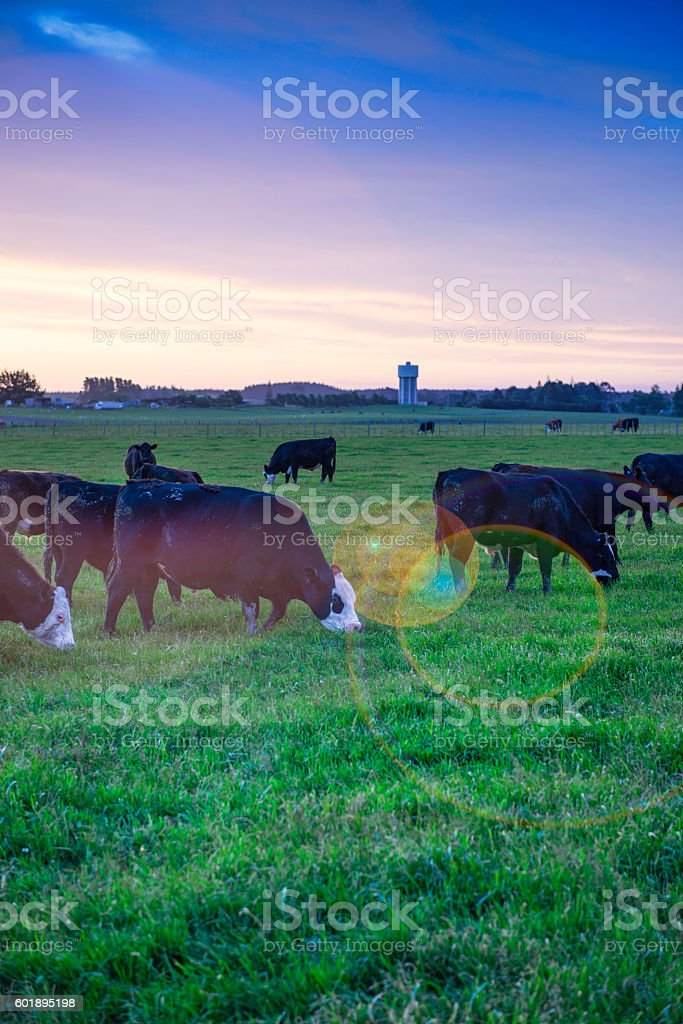 Grazing bulls with flare stock photo