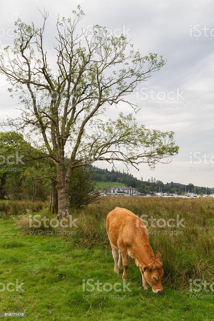 Grazing Calf in Ambleside countryside, Cumbria, UK stock photo