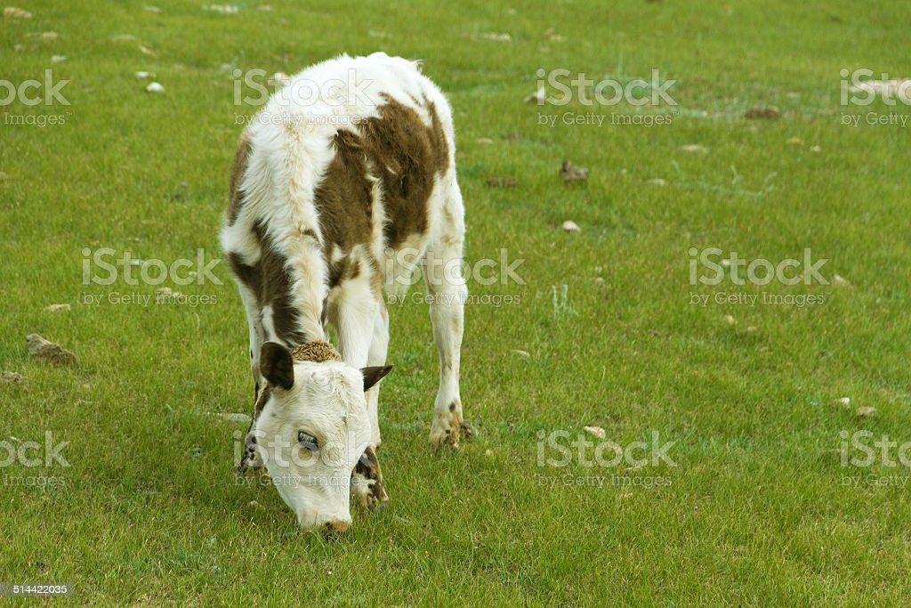 Grazing calf stock photo