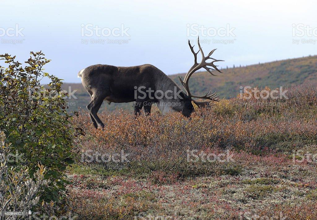 Grazing Caribou stock photo