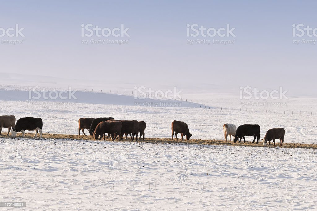 Grazing cattle in winter in Alberta, Canada royalty-free stock photo