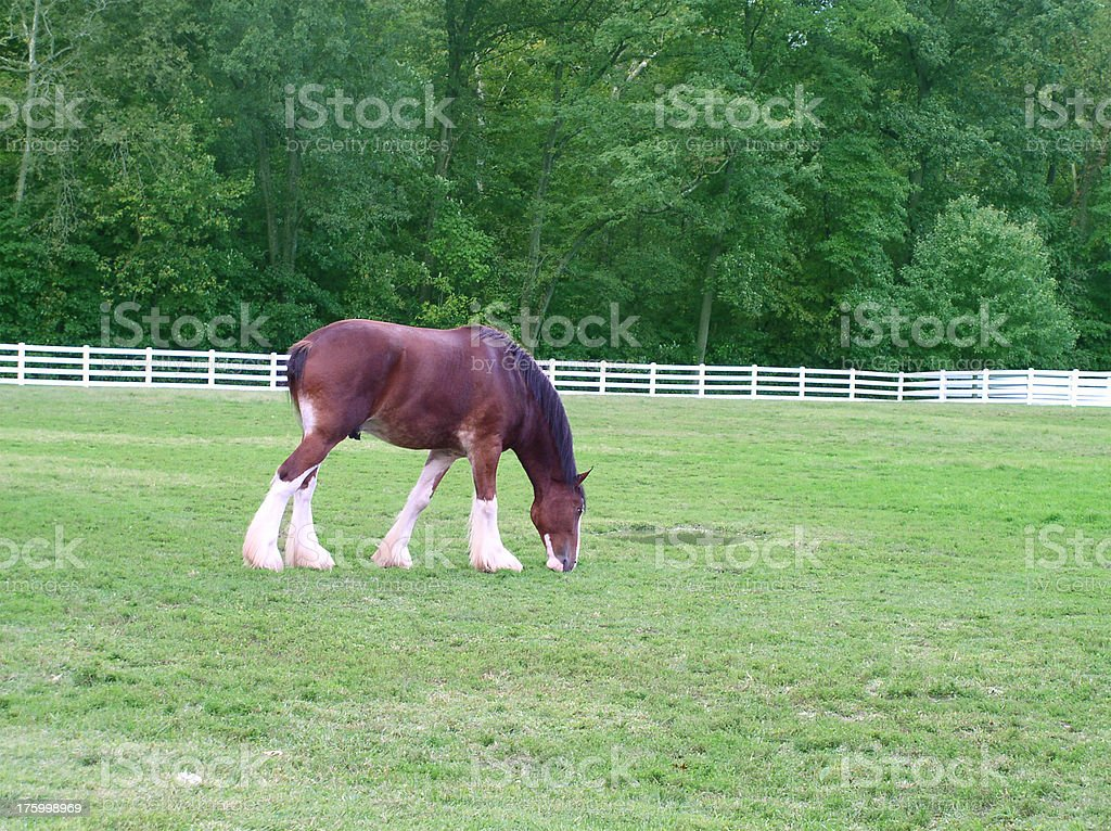 Grazing Clydesdale - Horse stock photo