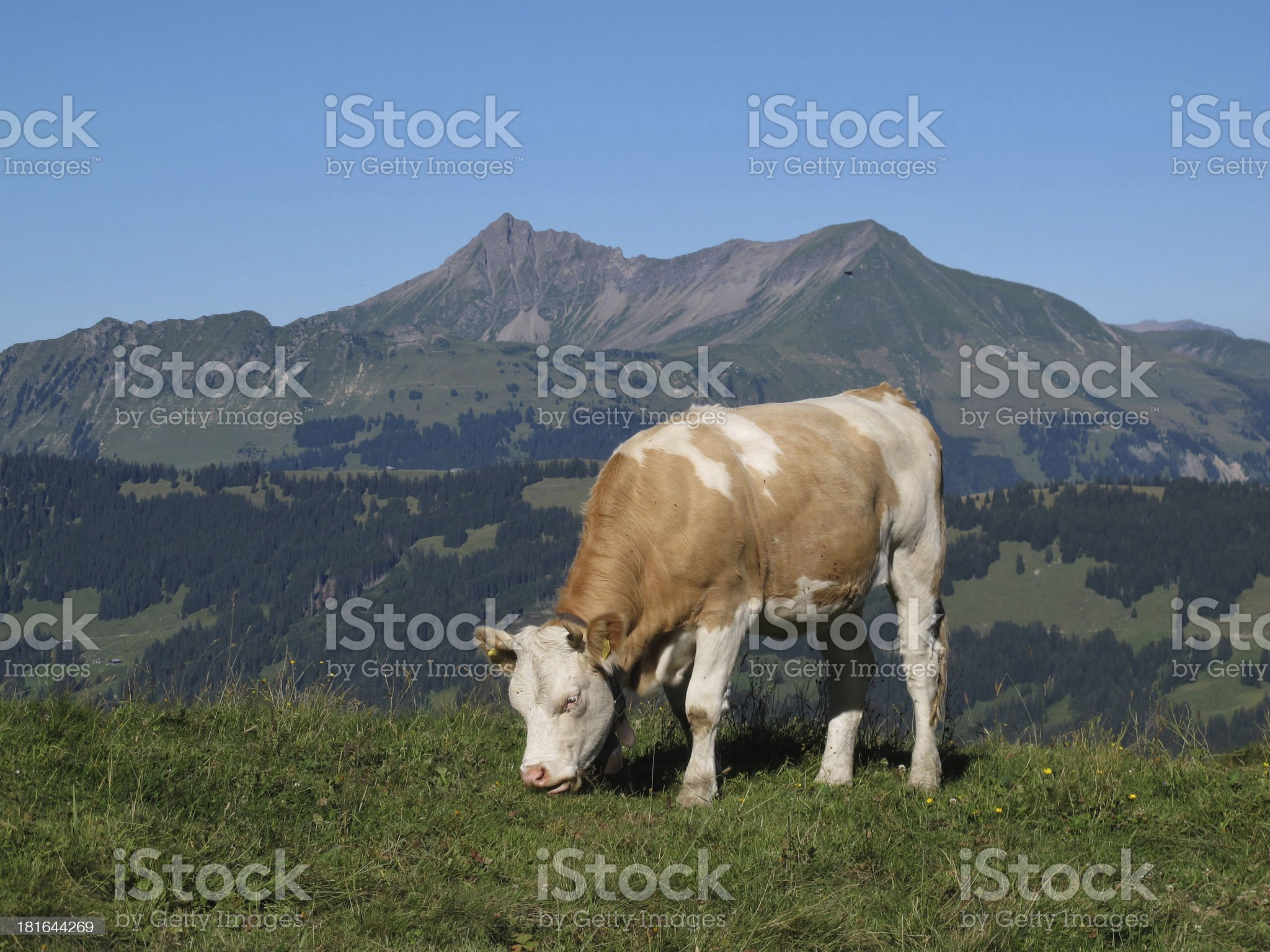 Grazing cow in front of a mountain royalty-free stock photo
