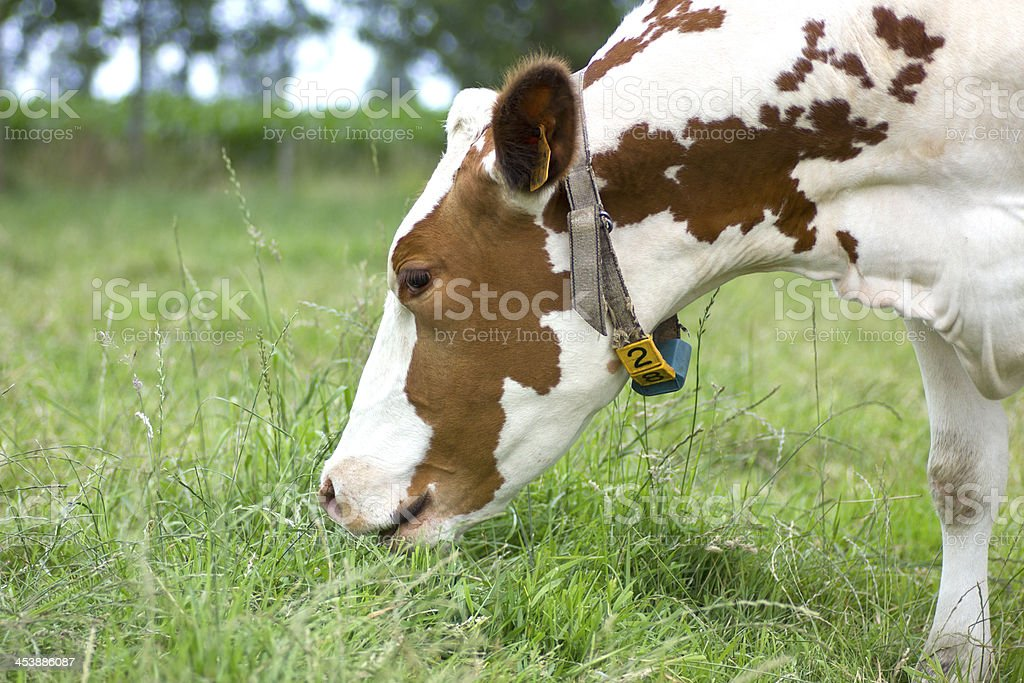 Grazing Cow royalty-free stock photo