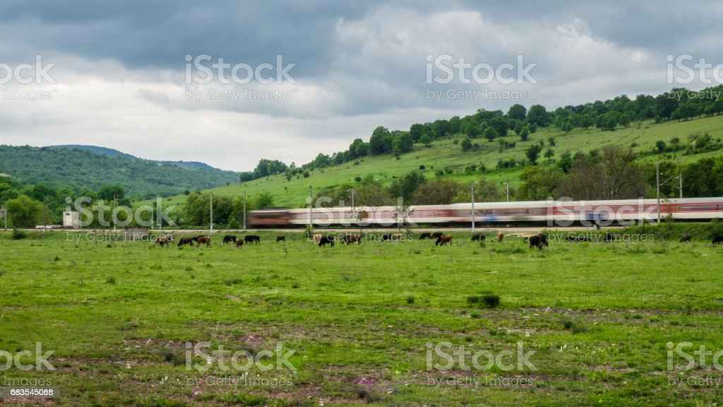 Grazing cows and buffaloes on the meadow to the railway rails of which train passes. The train is slightly blurred, giving the feeling of movement on the train. part 1 stock photo