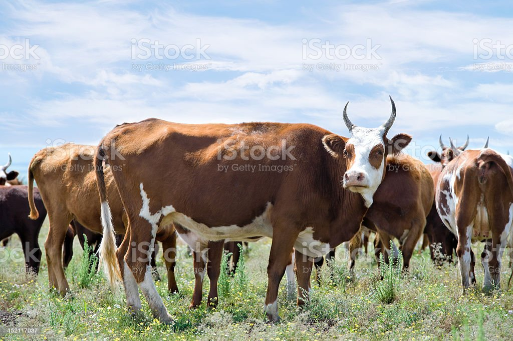 grazing cows at summer meadow royalty-free stock photo