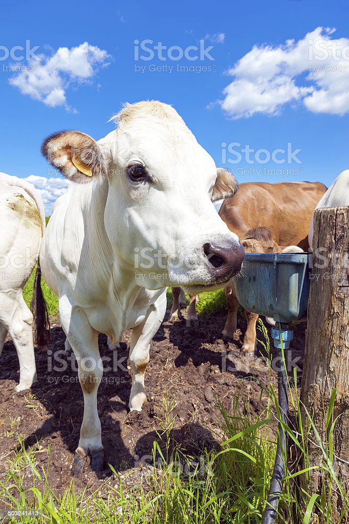 Grazing cows. Color image stock photo