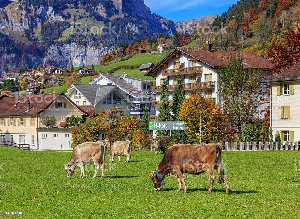 Grazing cows in Engelberg stock photo