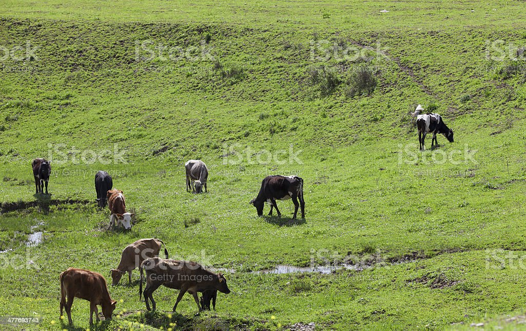 Grazing cows in meadow royalty-free stock photo
