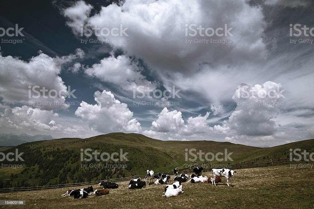 Grazing cows in the mountains royalty-free stock photo