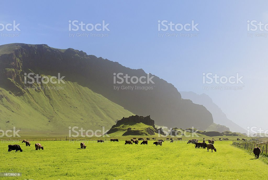 grazing cows in volcanic landscape on Iceland royalty-free stock photo