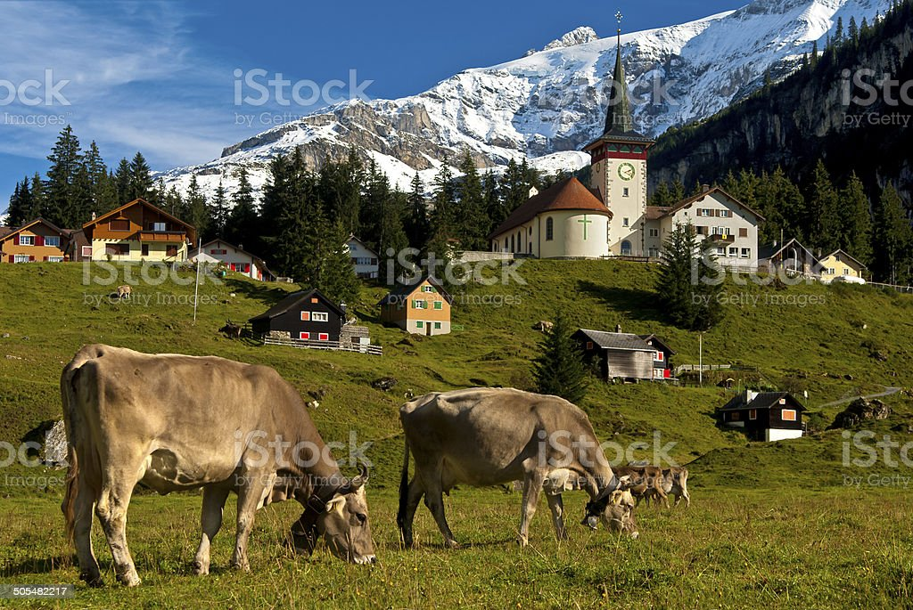 Grazing cows on a mountain pasture royalty-free stock photo