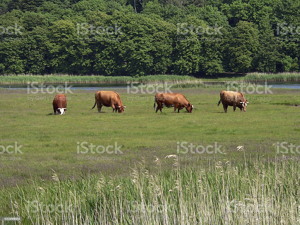 Grazing cows on summer meadow royalty-free stock photo