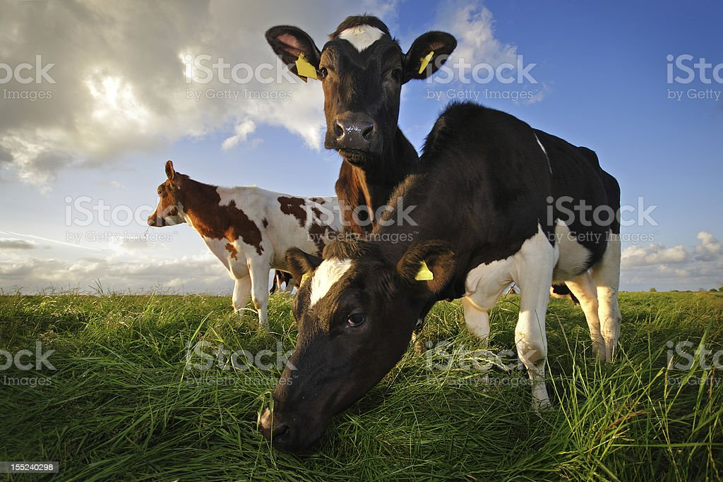 grazing cows stock photo