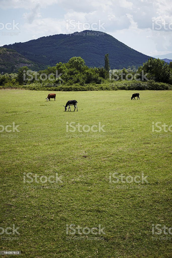 Grazing Cows royalty-free stock photo
