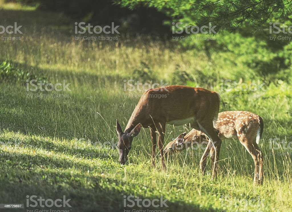 Grazing Deer stock photo