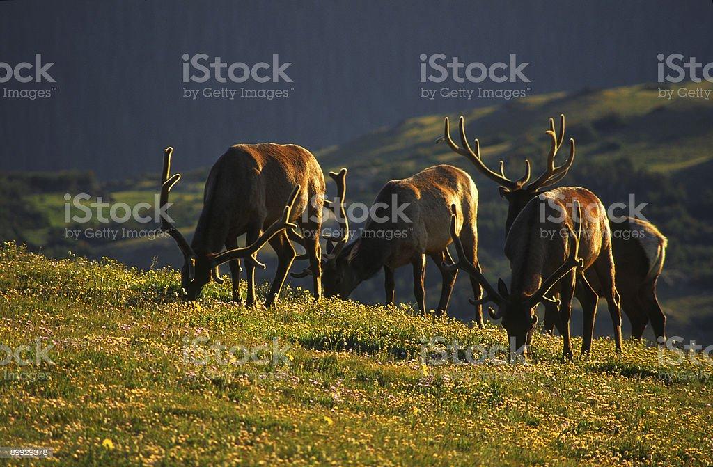 Grazing elk in Colorado Rocky Mountains stock photo