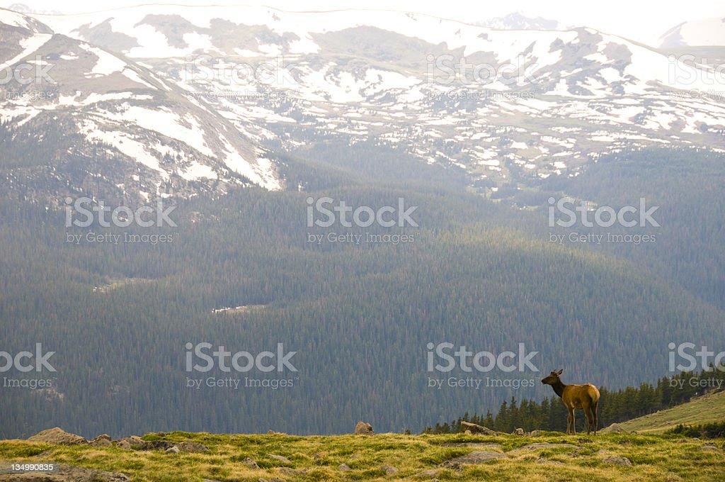 Grazing Elk stock photo