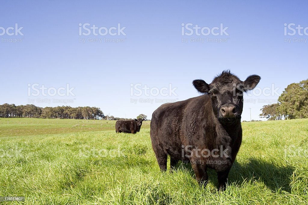 Grazing Farm Animals stock photo