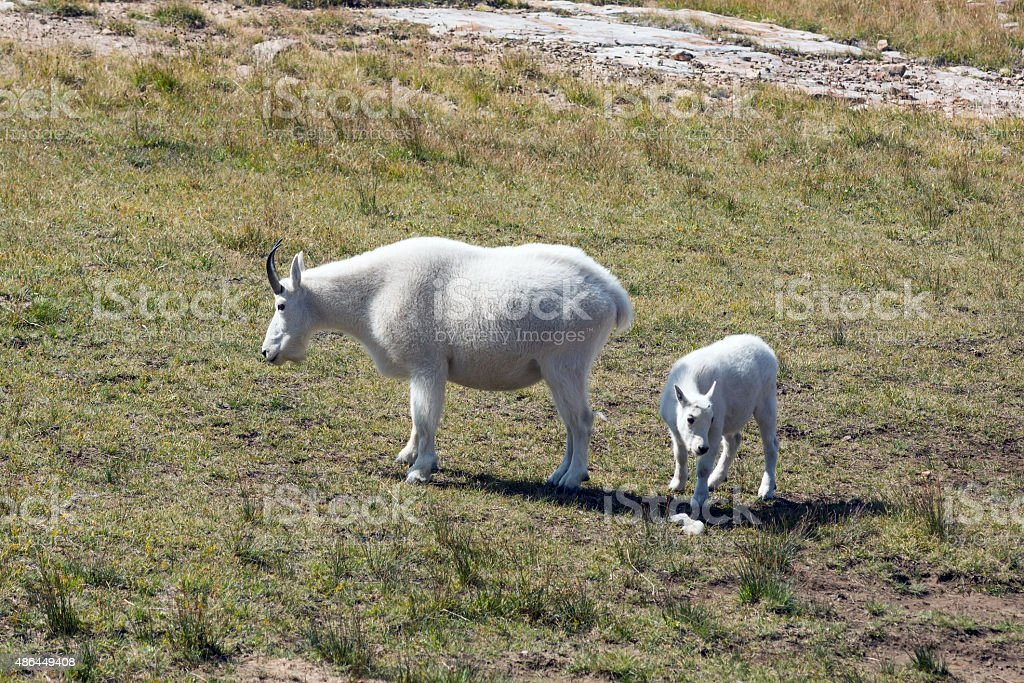 Grazing goat with  little kid stock photo
