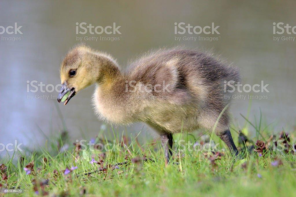 Grazing Gosling stock photo