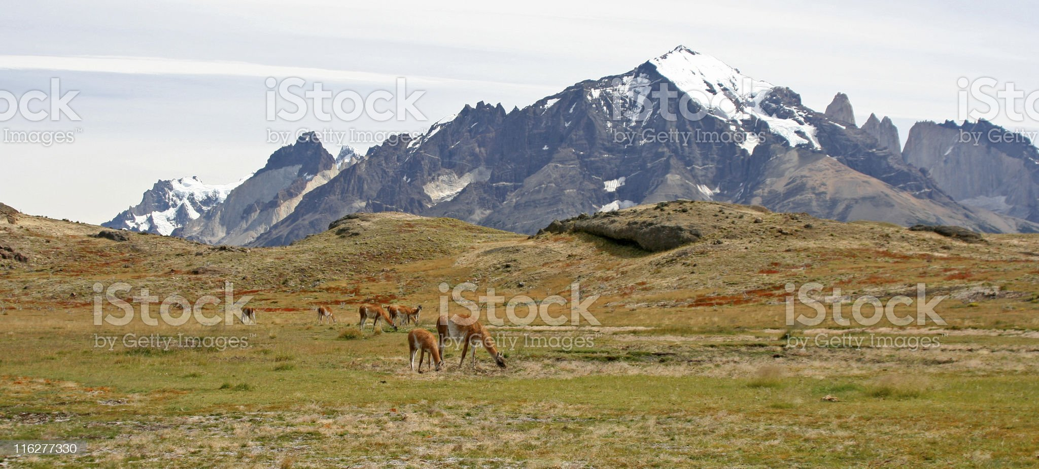 Grazing Guanaco in Pagagonia royalty-free stock photo