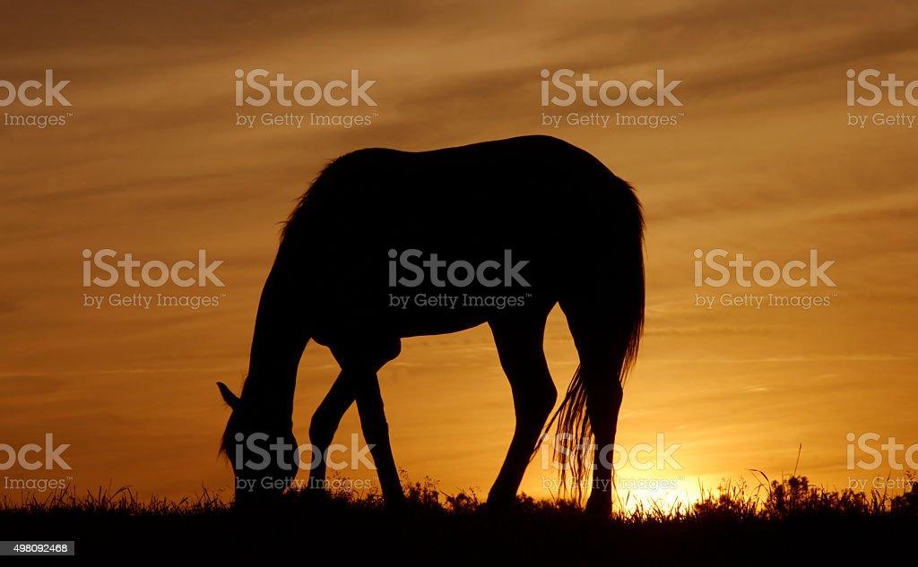 Grazing horse at sunset stock photo