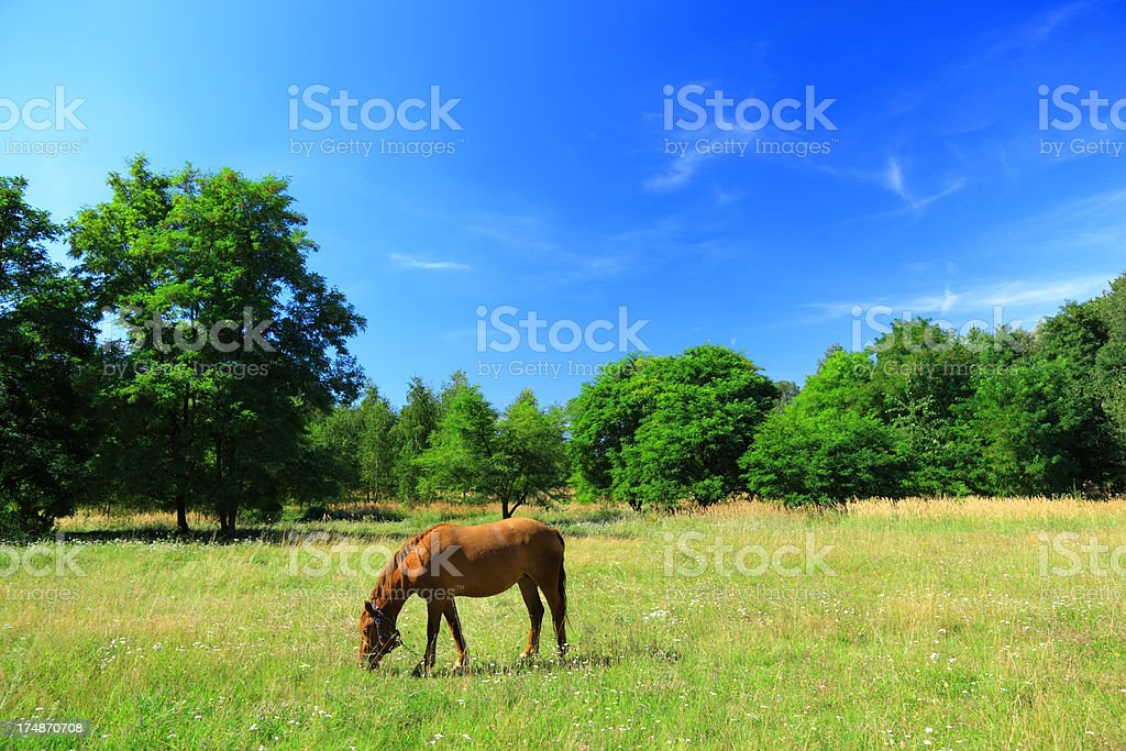 Grazing Horse on Pasture royalty-free stock photo
