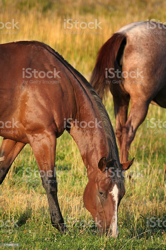 grazing horse royalty-free stock photo