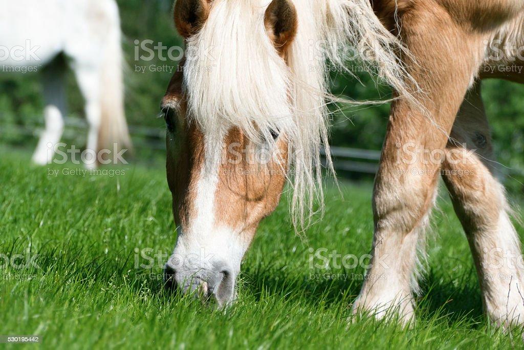 Grazing horse - pony stock photo