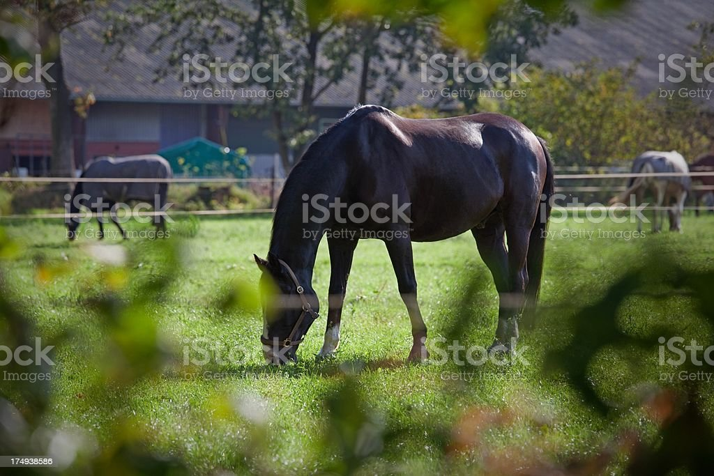 grazing horses in the evening sun royalty-free stock photo