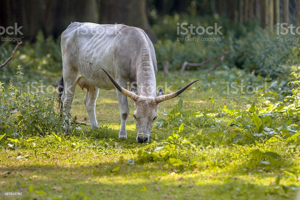 Grazing Hungarian Grey cattle stock photo