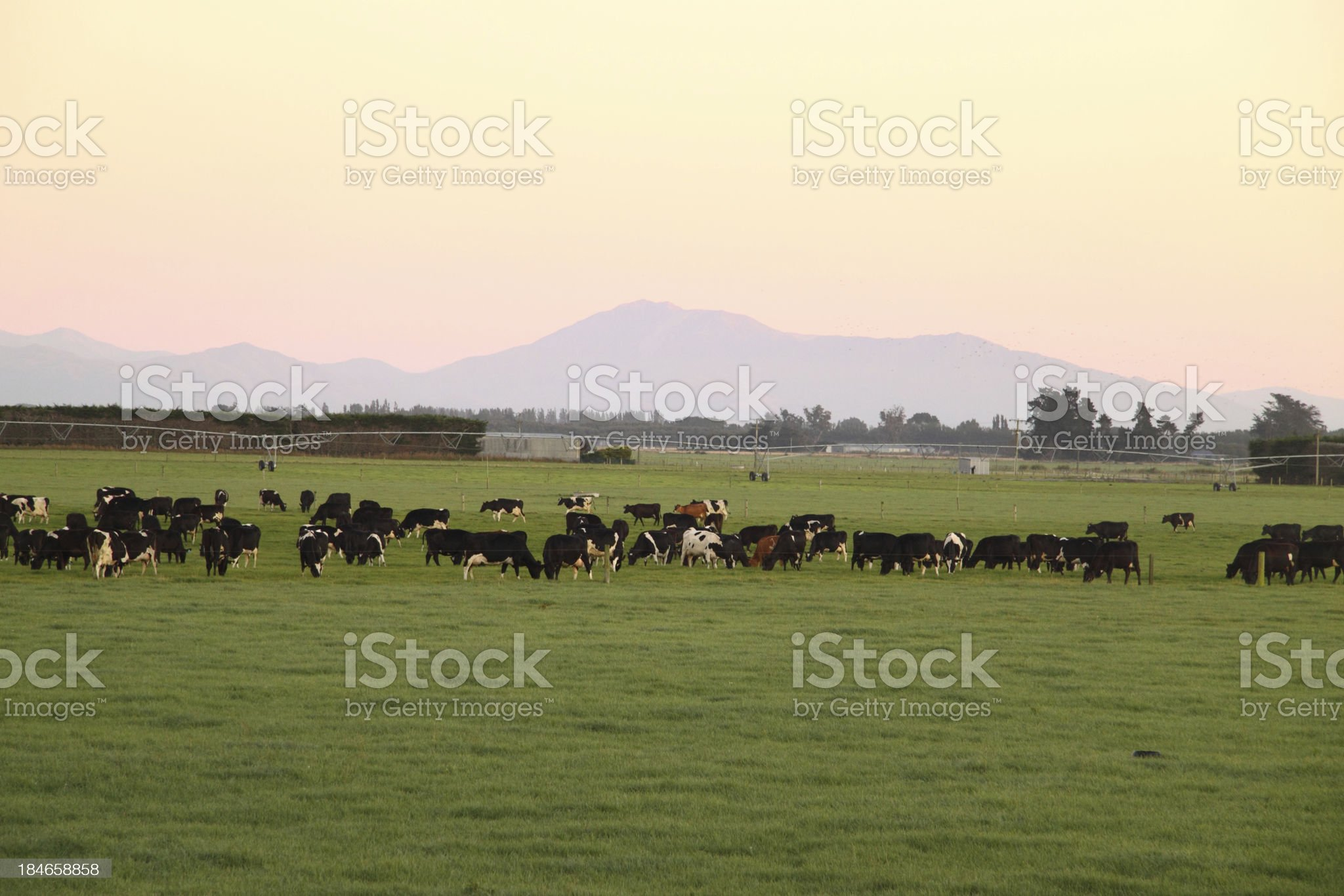 Grazing in dawn's pink light royalty-free stock photo
