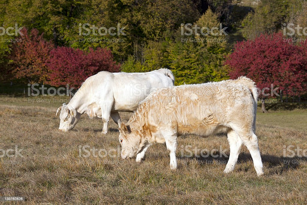 Grazing in front of Autumnal Cherry Trees royalty-free stock photo