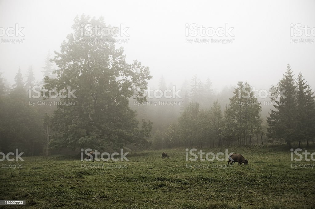 Grazing in the mist stock photo