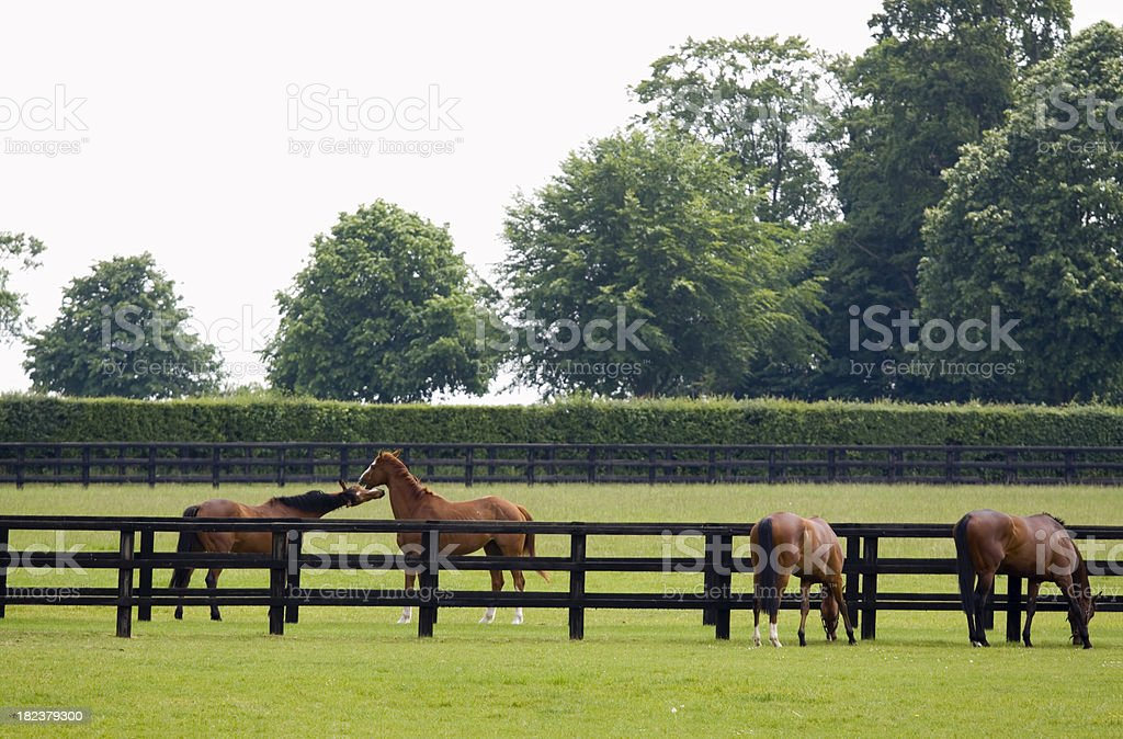Grazing in the Paddock royalty-free stock photo
