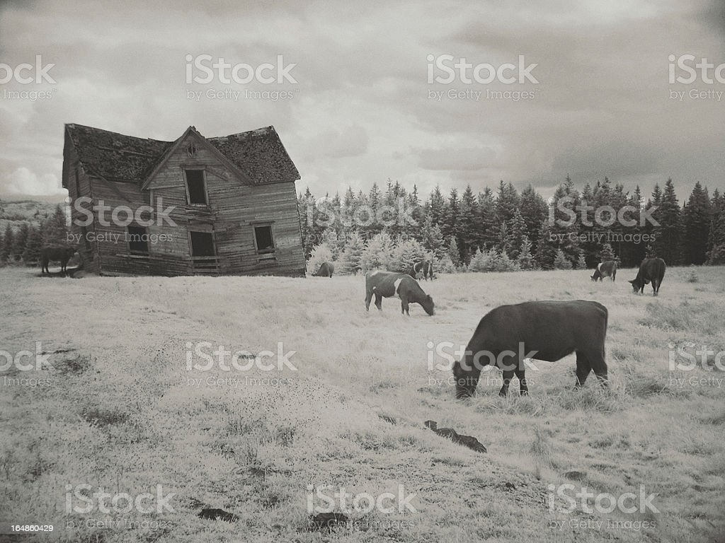 Grazing in the Yard royalty-free stock photo