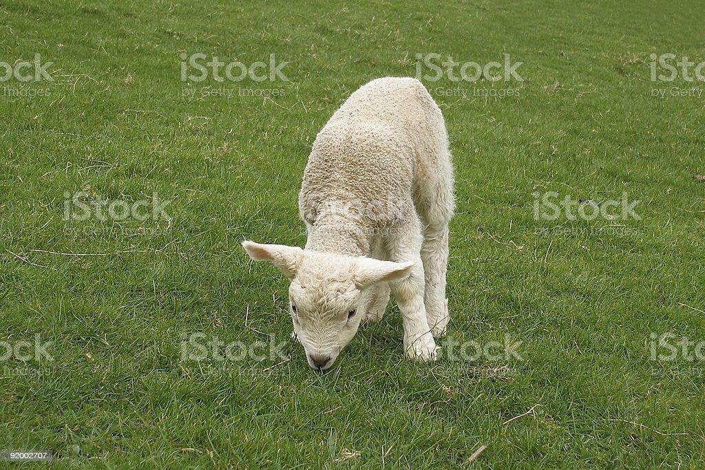 Grazing Lamb stock photo