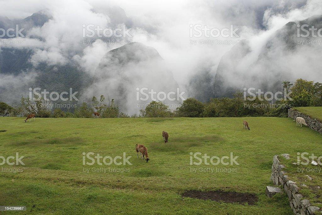 Grazing Llamas royalty-free stock photo