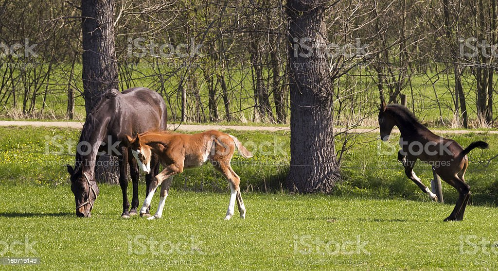 Grazing mare horse and foals horses royalty-free stock photo