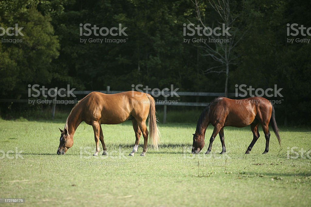 Grazing royalty-free stock photo