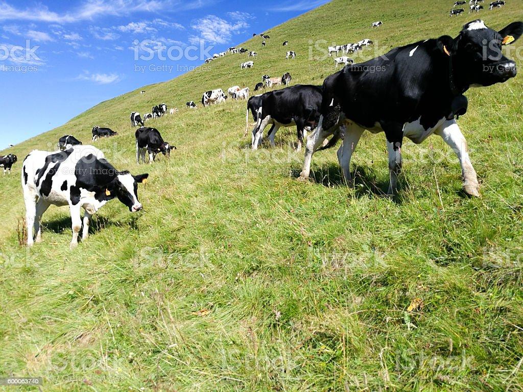 grazing stock photo