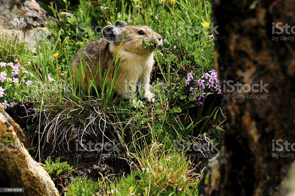 Grazing Pika stock photo