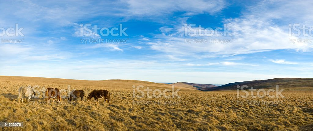 Grazing ponies in grassy wilderness royalty-free stock photo