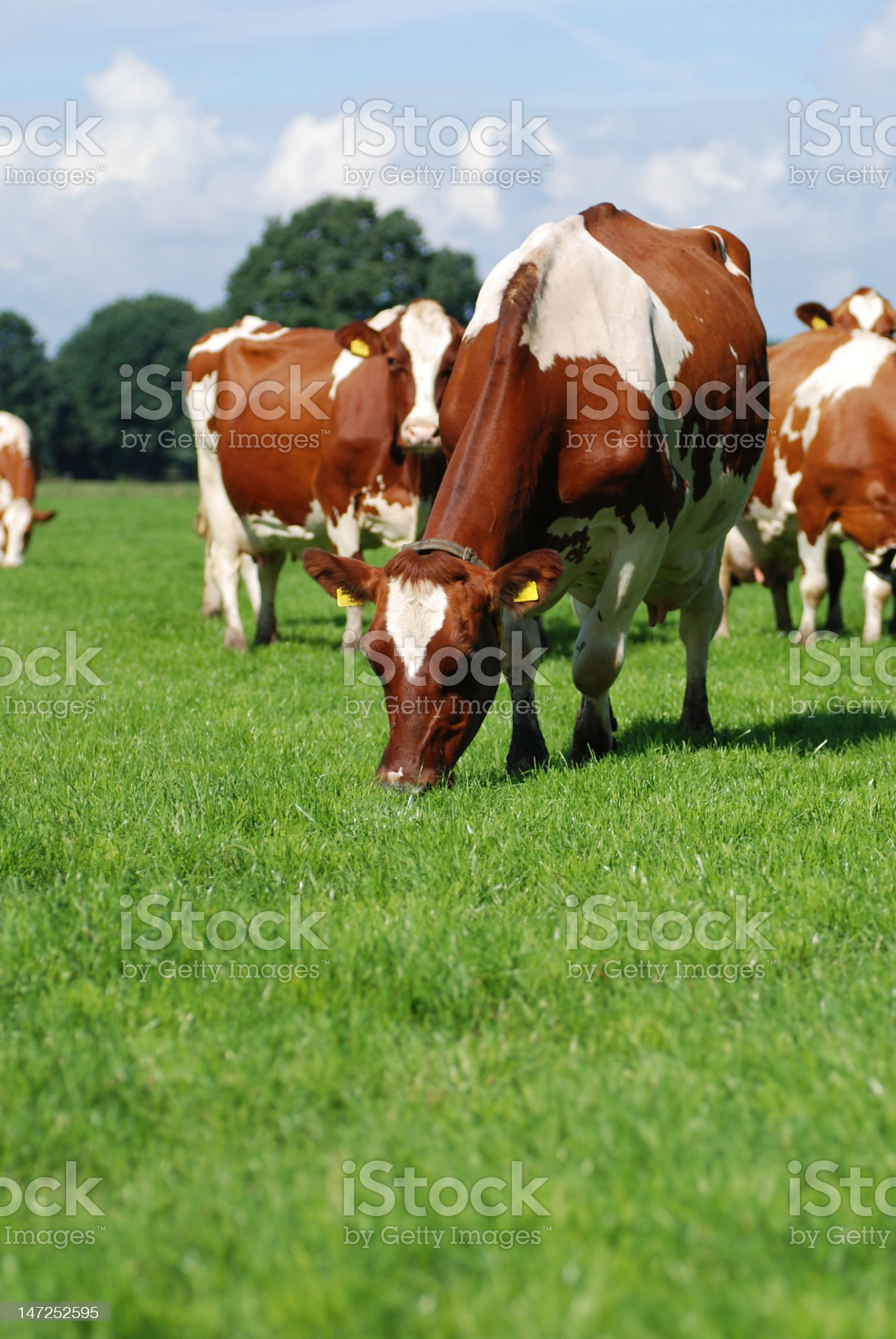 Grazing Red Holstein cow between the herd. royalty-free stock photo