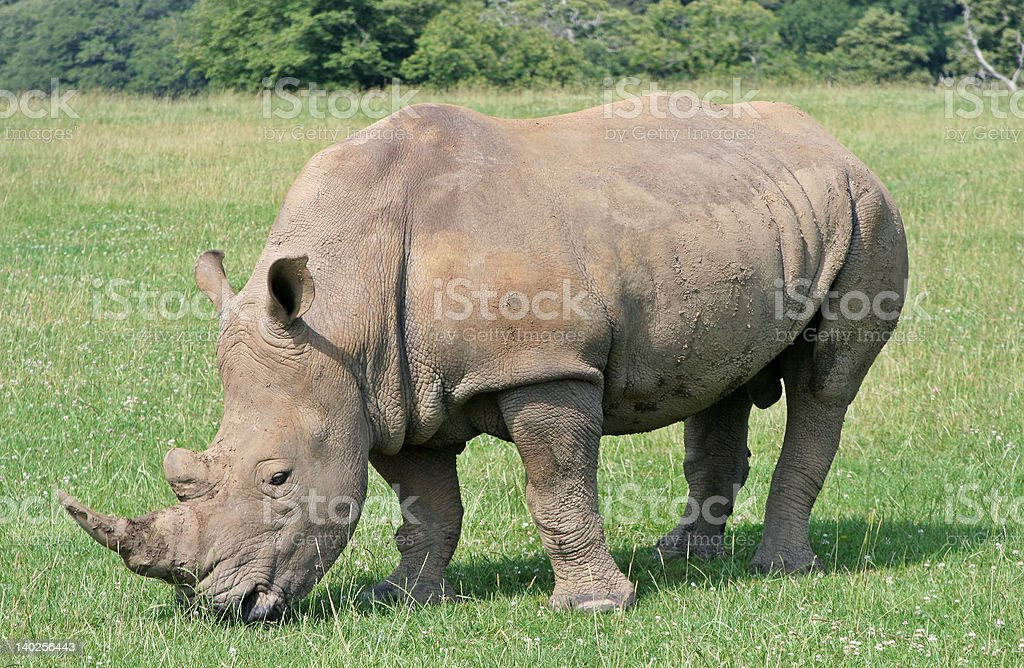 Grazing Rhinoceros stock photo