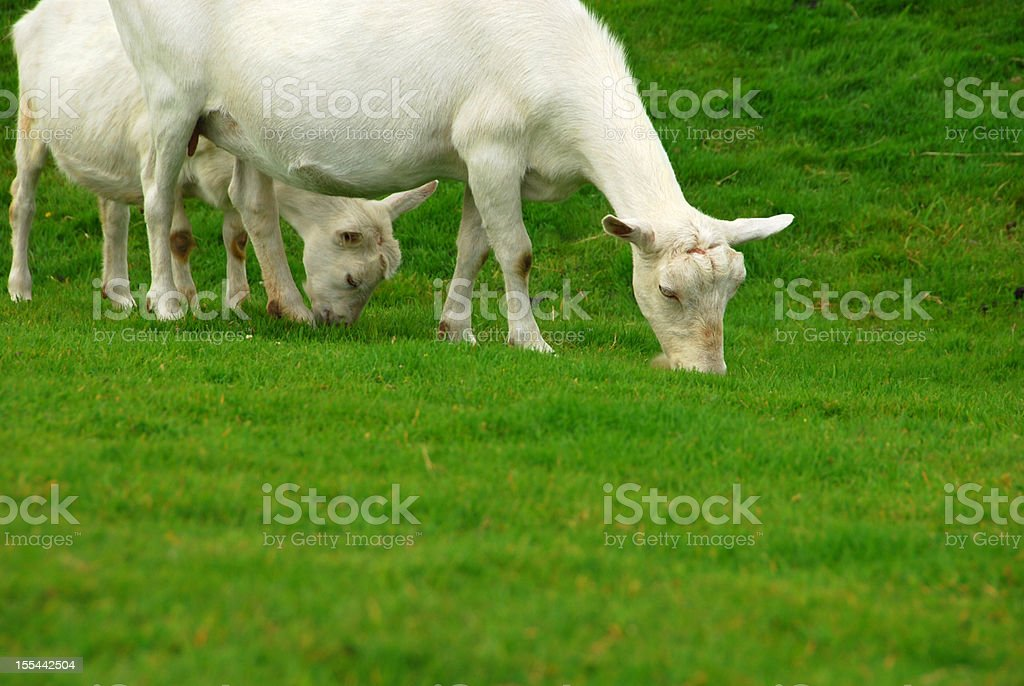 Grazing Saanen goats stock photo