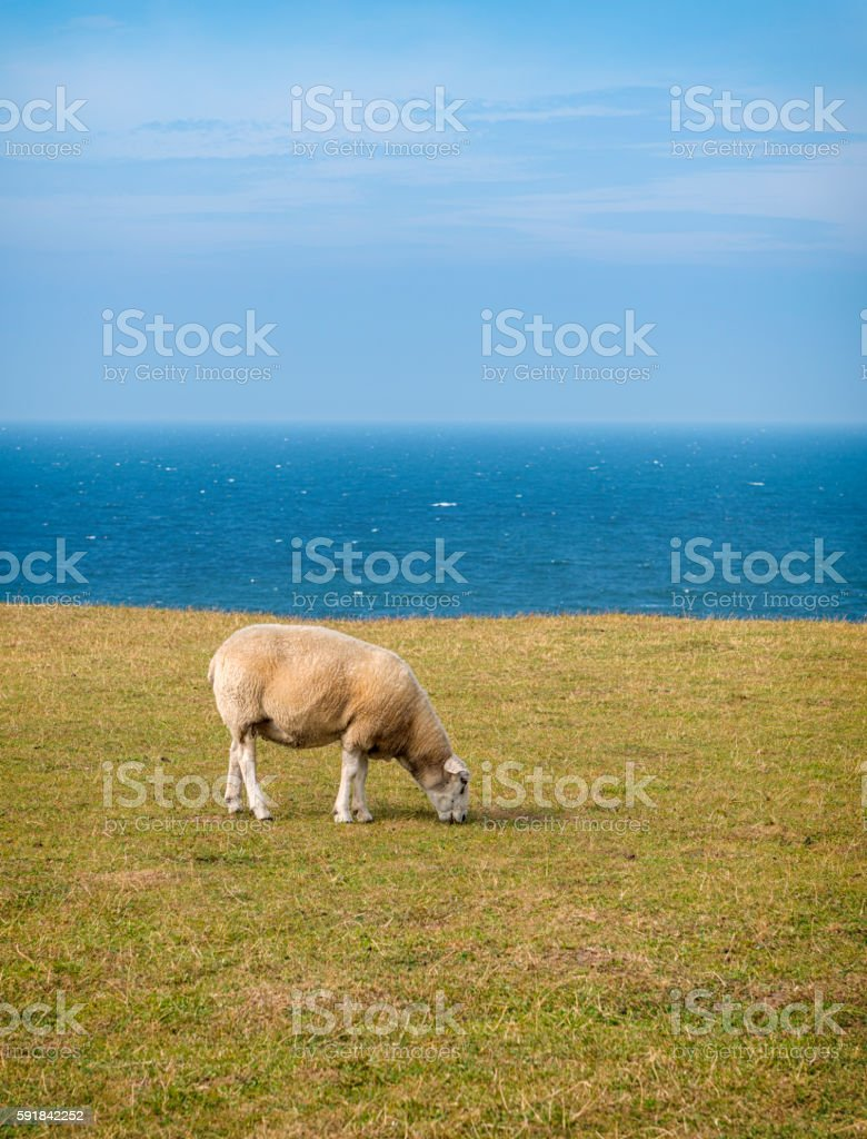 Grazing sheep at sea of Kattegatt stock photo