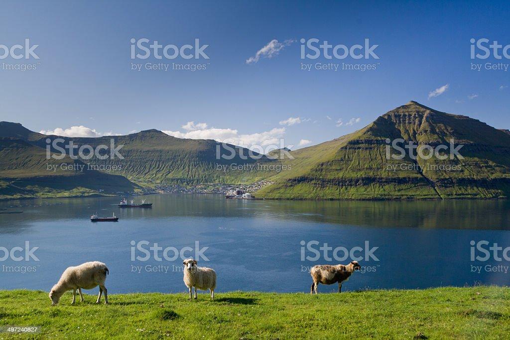 Grazing sheep, Faroe Islands stock photo